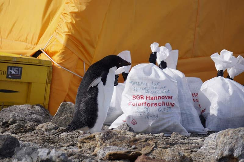 A local penguin investigates the bags and supplies outside a campsite.