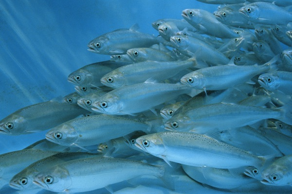 A close up view of a school of fish swimming in unison
